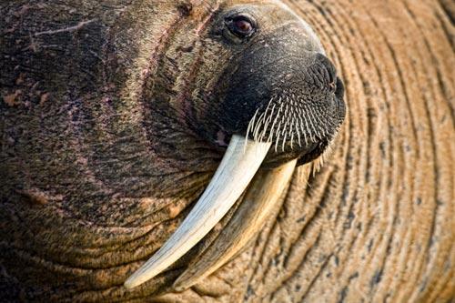 Photo portrait of walrus at Walrus Island, Hudson Bay by Michael Poliza