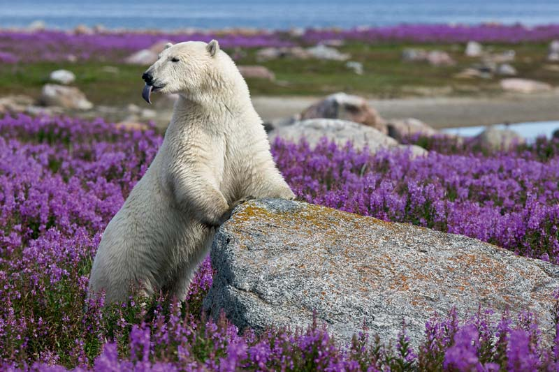 Photo of Polar Bear in flowers at Point Hubbard by Michael Poliza