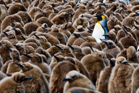 Photo of King Penguin and chicks at Salisbury Plains, South Georgia by Michael Poliza
