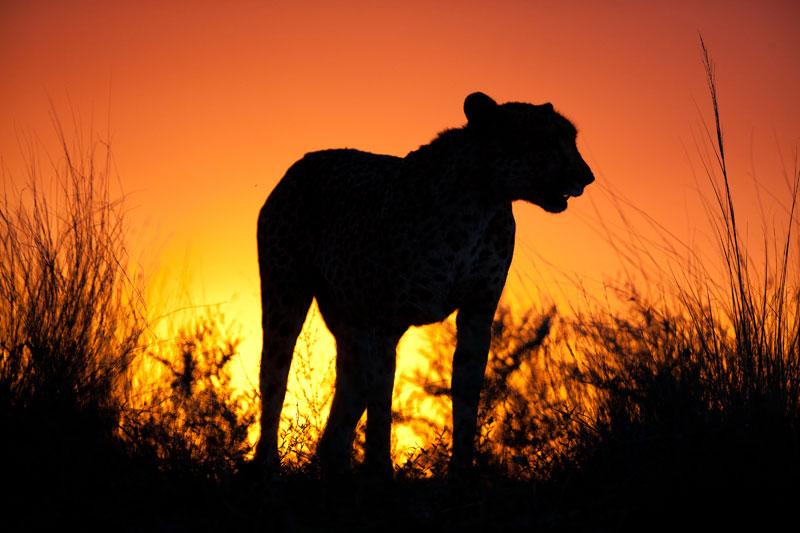 Photo of cheetah silhouette at Tswalu Kalahari Reserve, Northern by Michael Poliza