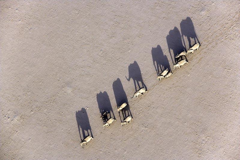 Photo of marching Desert Elephants, Damaraland, Namibia by Michael Poliza