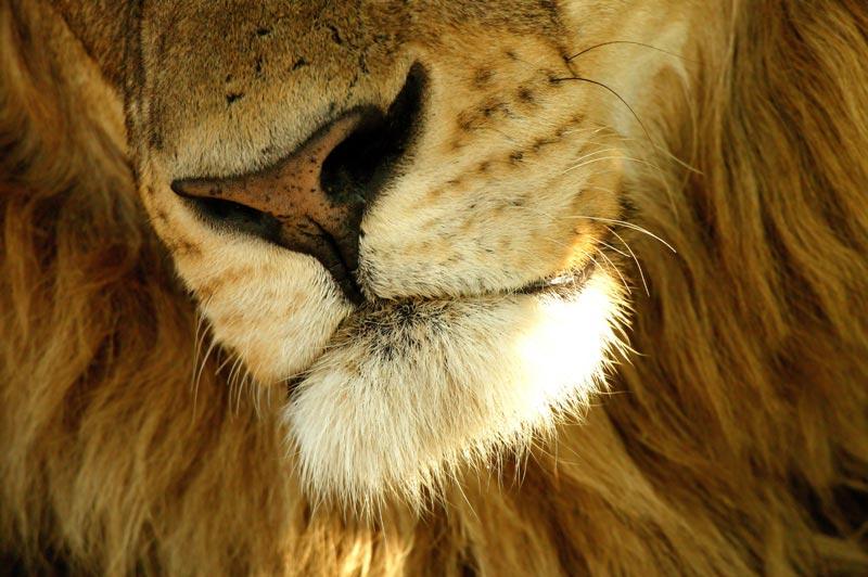 Photo of male Lion , Duba Plains, Okavango Delta, Botswana by Michael Poliza