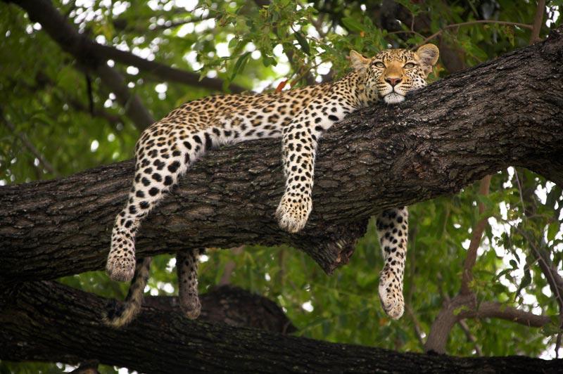 Photo of Leopard, Mombo, Okavango Delta, Botswana by Michael Poliza