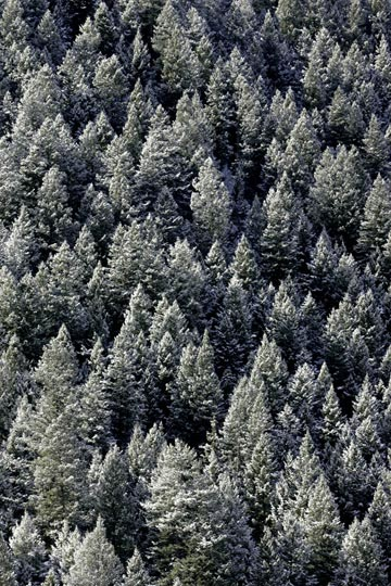 Photo of tops of pine trees with snow on branches by Andy Long