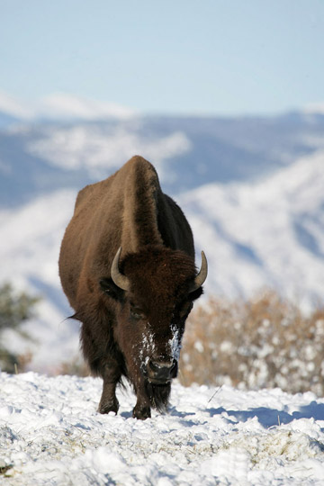 Photo of buffalo in snow by Andy Long