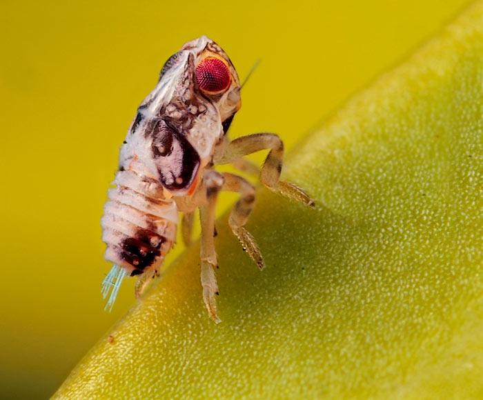 Microphoto of small Leafhopper by Huub de Waard.