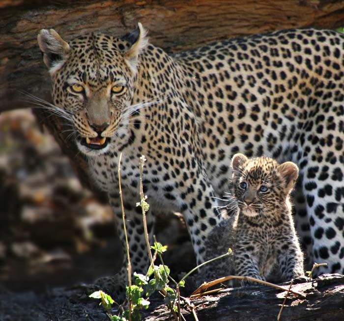 Photo of leopard mother and cub by Jenny Sheldon Kirk