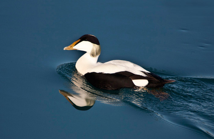 Water reflection photo of a male Eider Duck at Jokulsarlon Lagoon in Iceland by Noella Ballenger
