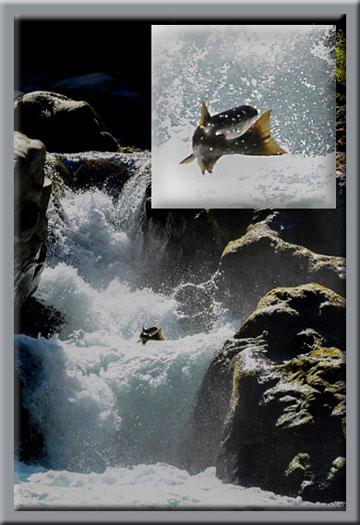 Photo of salmon jumping at Salmon Cascades in Olympic National Park, Washington by Michael Leggerl