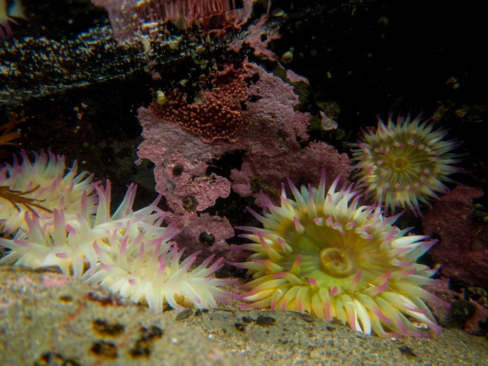 Photo of sea anemones at stream on Wiskey Bend Trail, Olympic National Park, Washington by Michael Leggero