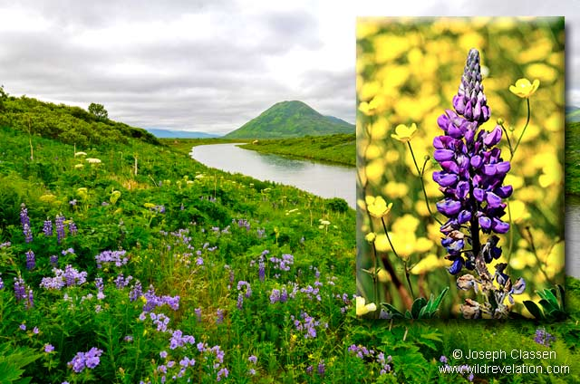 Purple Lupine and other wildflowers decorate the landscape along the Karluk River in Kodiak Island, Alaska by Joseph Classen.
