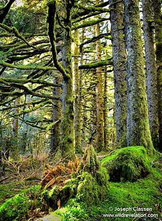 Dense green moss covered Stika Spruce trees of Fort Abercrombie, on Kodiak Island by Joseph Classen.