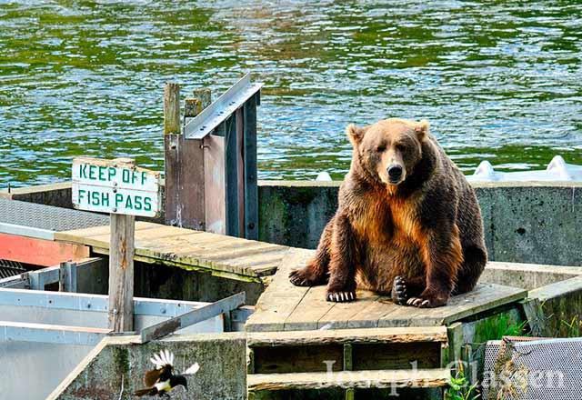 Kodiak Brown Bear bore sitting on a fishing path with sign that reads Keep Off Fish Path at Kodiak Island, Alaska by Joseph Classen.