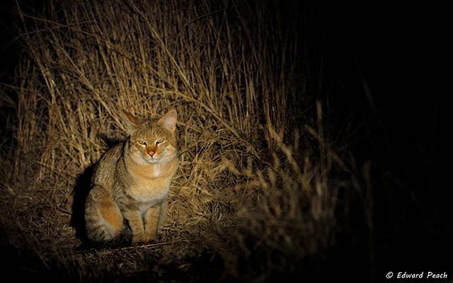 Spot light on African Wild Cat at night at Pilanesberg National Park in South Africa by Edward Peach.