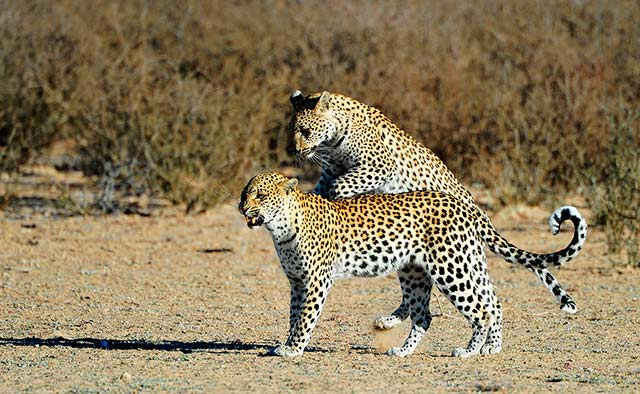 Leopard mother playing with her cub at Kgalagadi Transfrontier Park, South Africa by Mario Fazekas.