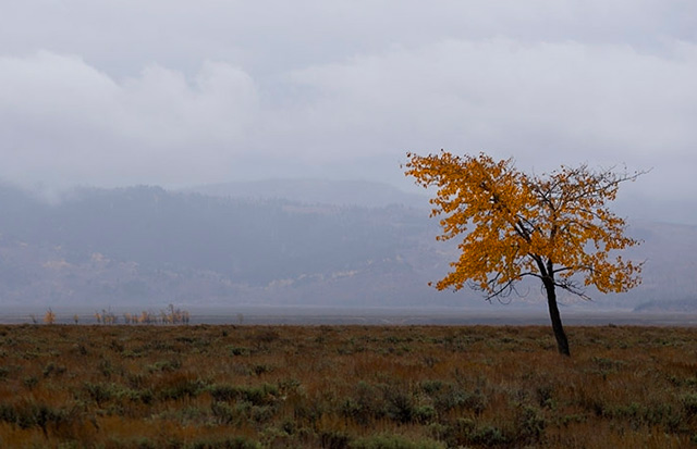 A lone tree dressed in fall colors on the prairie with Grand Teton National Park in the background by Andy Long.