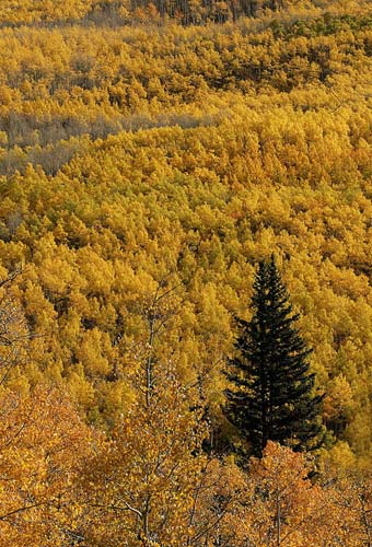 Photo of Aspen trees during Autumn by Andy Long