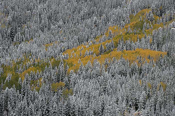 Photo of Aspen trees surrounded by snow covered pine trees during Autumn by Andy Long