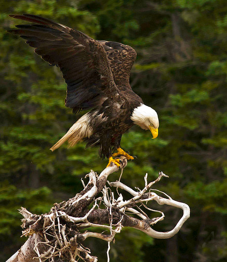 Photo of Bald Eagle on branch of tree in Maskills Harbor by Jim Austin
