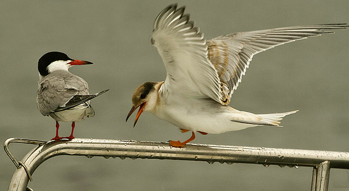 Adult Tern with immature ternlet photo by Jim Austin
