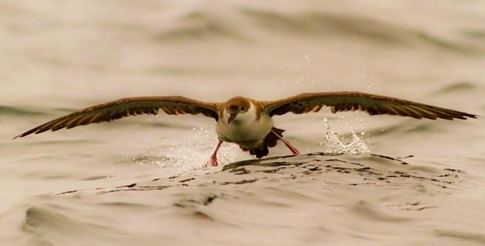 Greater Shearwater landing on ocean photo by Jim Austin