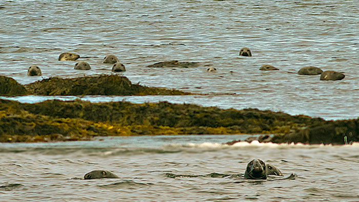 Photo of Gray Seals hunting off of Thrumcap Island, Nova Scotia by Jim Austin