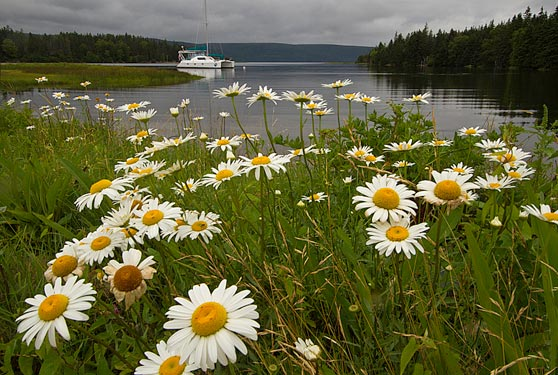 Photo of daisies at Crammond Island in the Bras d'Or Lakes by Jim Austin