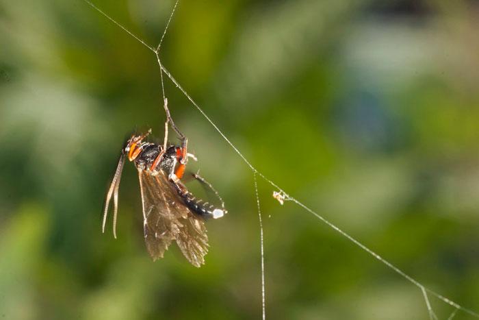 Photo of Barichneumon Bilunulatus wasp in spider web by Edwin Brosens