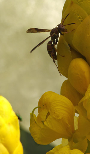 Extreme example of wasp and flower using Lastolite 2-stop diffuser by Marla Meier