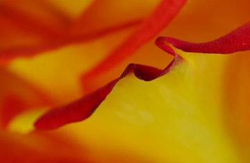 Macro photo of rose petal edge using Lastolite gold reflector by Marla Meier