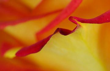 Macro photo of rose petal edge using Lastolite silver reflector by Marla Meier