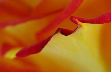 Macro photo of rose petal edge using Lastolite white reflector by Marla Meier