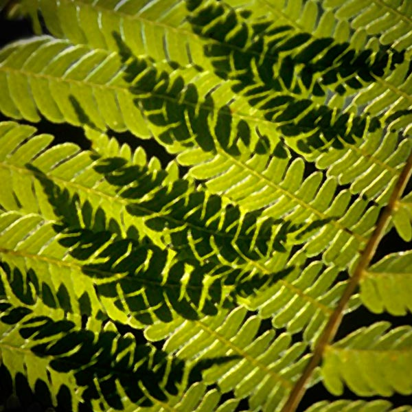 Close-up photo of fern leaf shadows by Noella Ballenger
