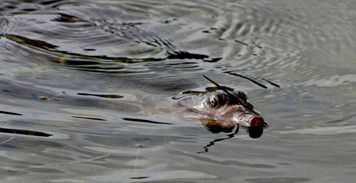 Photo of Florida soft-shell turtle in lake using Tiffen Circular Polarizing Filter by Marla Meier