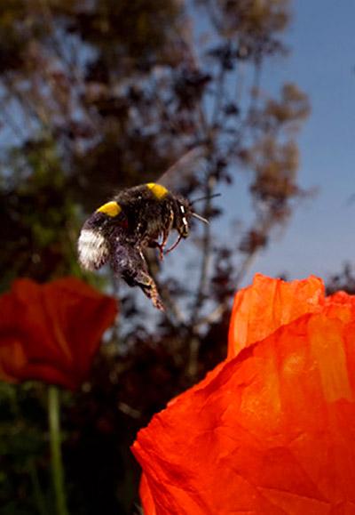 Garden photo tips: bee flying around red poppy flower by Edwin Brosens.