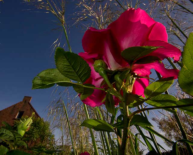 Garden photo tips: red roses photographed from below in a garden with blue sky above by Edwin Brosens.