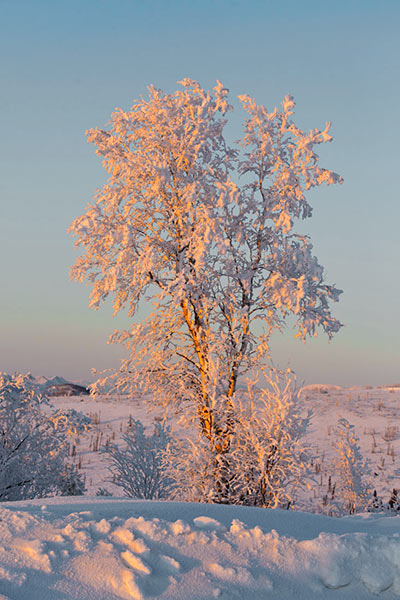 Image of hoarfrost on a tree is highlighted just before sunset by Andy Long.