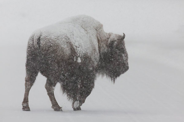 Close-up of a buffalo in a snow storm at Yellowstone National Park by Andy Long.