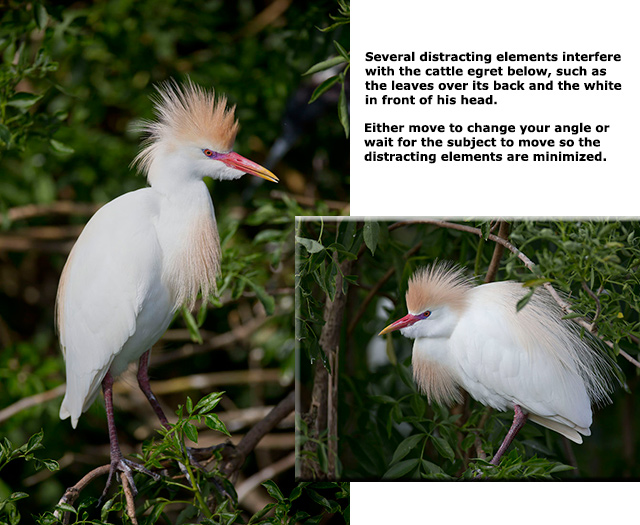 Collage of Cattle Egrets - one with poor composition and one with good composititon by Andy Long.