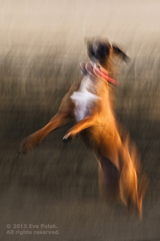 Tonal contrast in color of dog jumping using intentional camera movement by Eva Polak.