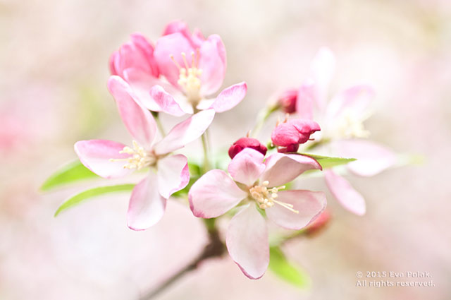 Image of pink flowers showing high color contrast by Eva Polak.