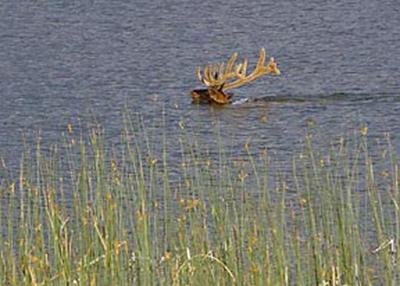 Photographic principles: action image of elk swimming in lake by Jim Altengarten.