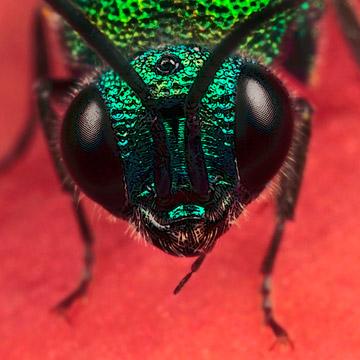 Microphoto of the head of a common Cuckoo Wasp byHuub de Waard.