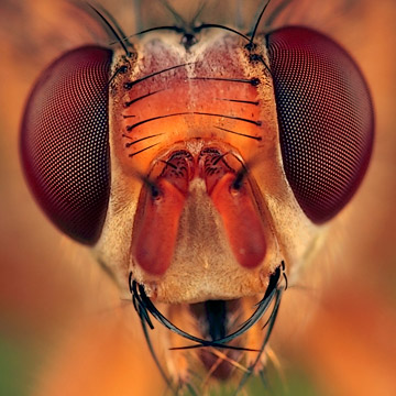Microphoto of the head of a Dung Fly by Huub de Waard.