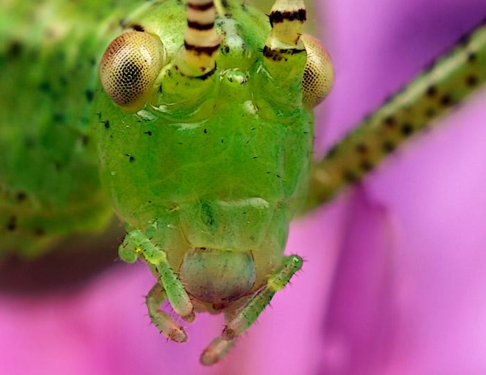 Microphoto of the head of a juvenile grasshopper by Huub de Waard.