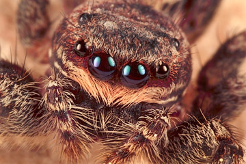 Microphoto of the head of a Jumping Spider by Huub de Waard.