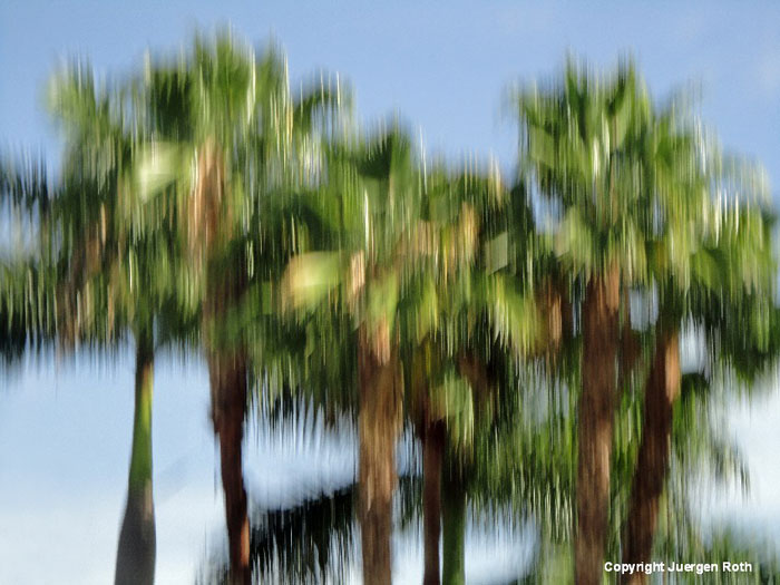 Intentional verticall camera movement: image of abstract Florida Royal Palm Trees by Juergen Roth.