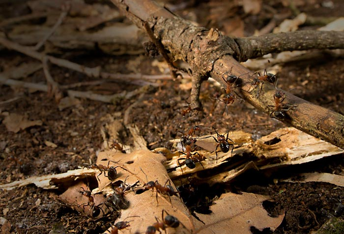 Close-up photo of Wood Ants in the woods by Edwin Brosens