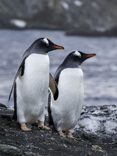 Close-up photo of two Gentoo Penguins in Antarctica by Michael Leggero.