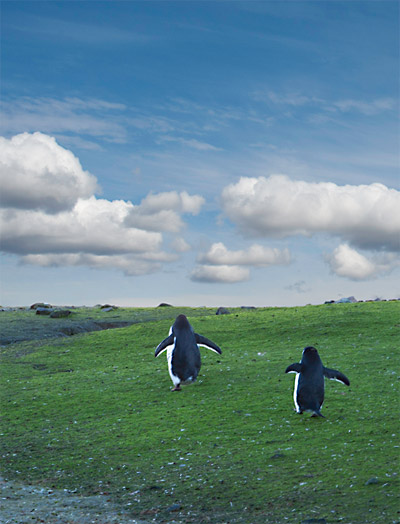 Photo of Gentoo Penguins waddling up the green tundra in Antarctica by Michael Leggero.